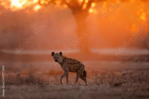 Fotografie, Tablou Spotted Hyena (Crocuta crocuta) wlking at sunrise with orange light in the backg