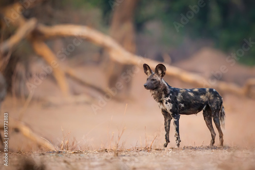 African Wild Dog (Lycaon pictus) preparing for hunting in Mana Pools National Park in Zimbabwe