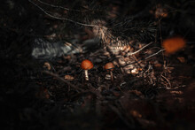 Two Wild Orange Mushrooms In T...