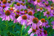 Purple And Yellow Echinacea Cone Flowers