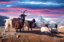 Resting Goats On Matterhorn Cervino Peak Background Near Stellisee Lake In Swiss Alps During Sunset. Zermatt Resort Location, Switzerland. Landscape Photography