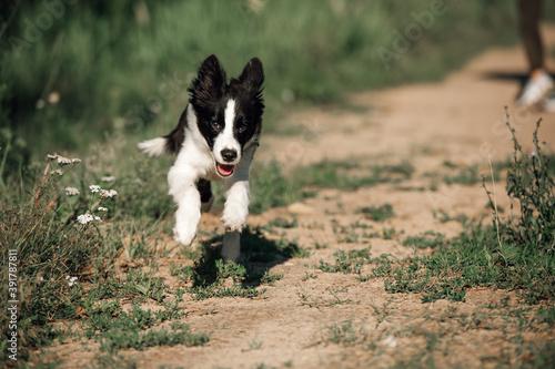 Fotografie, Tablou Black and white border collie dog puppy