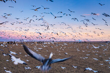 A Massive Flock Of Sandhill Cranes Fly In Rural Colorado At Sunset