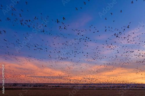 Slika na platnu A massive flock of sandhill cranes fly in rural Colorado at sunset