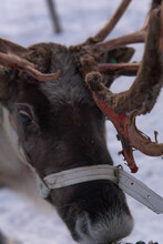 Kiruna, Sweden - December 3, 2019: A Closeup Portrait Of A Reindeer (caribou) And Its Antlers Shedding To Grow New Ones. Reindeer Are A Common Sight In The Arctic Circle Of The Lapland Region.