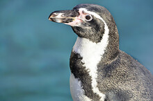 Close Up Of A Penguin