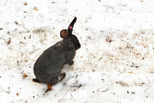 A Gray Rabbit In Winter With A...