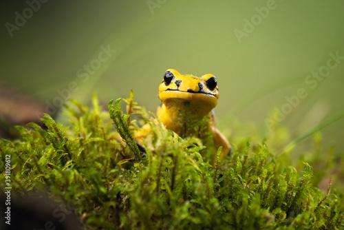 Fotografía Fire salamander (Salamandra salamandra) is the best known salamander, with its black spots on yellow body