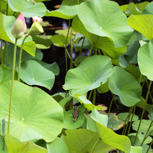 Large Grasshopper Eating Lotus Plant Leaves In A Water Garden