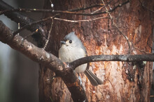 Side View Of Tufted Titmouse
