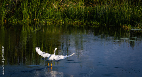 Snowy Egret flying above lake at Sweetwater wetlands in Gainesville Florida Fotobehang