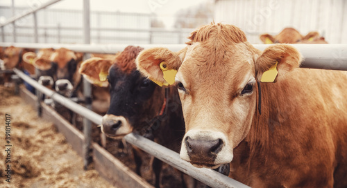 Fényképezés Portrait cows red jersey with automatic collar stand in stall eating hay