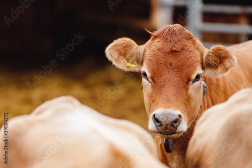 Portrait of red hairy jersey smile cow funny face, big ears showing tongue Fototapet