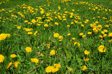 A Pollinator Friendly, Bee-friendly Green Lawn Full Of Blooming Yellow Daffodil Flowers And Bees In Spring. Daffodil Field Background.
