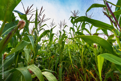 Foto Green field of corn with young cobs growing on the farm.