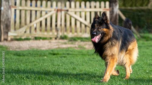 King german shepherd dog on the grass Canvas