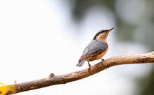 Close-up Photo Of A Nuthatch On Neutral Background. Eurasian Nuthatch, Sitta Europaea.