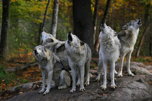 Eastern Timber Wolves Howling On A Rock.