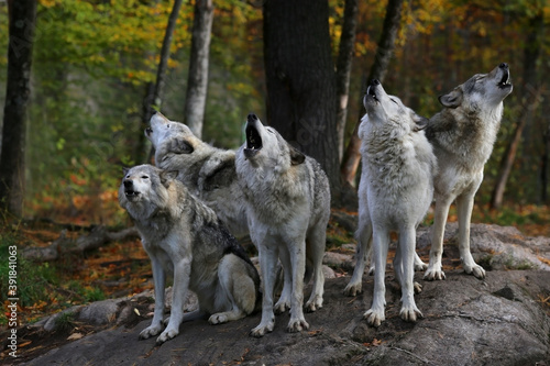 Photo Eastern timber wolves howling on a rock.
