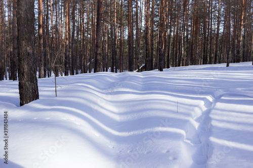 Winter pine wood in the Middle Volga region, Russia. Canvas Print