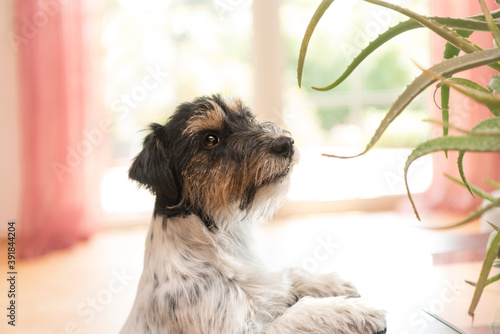 Obraz na plátne Dog sitting in an apartment and looking at an aloe vera plant - Purebred Jack Ru