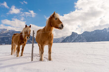 Two Haflinger Horses On The Wi...