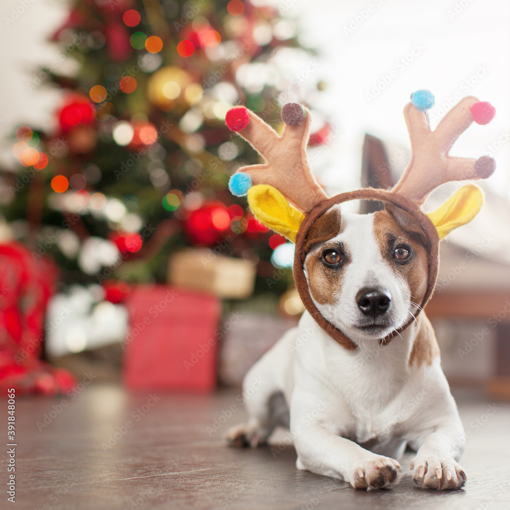Fototapeta Dog near christmas tree
