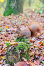 Redhead Squirrel In The City Park In The Autumn Season