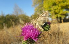 Brown Catocala Butterfly On Thistle Flower In The Meadow