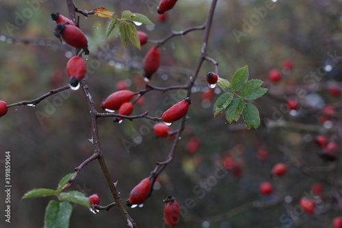 Canvastavla Red rose hips in the forest on the bush