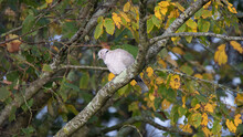 Tourterelle Pigeon Colombe