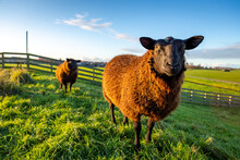 Two Curious Brown Sheep In The...