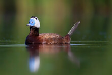 White Headed Duck. Green Lake ...