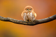 The Ferruginous Pygmy Owl (Glaucidium Brasilianum) Is A Small Owl That Breeds In South-central Arizona And Southern Texas In The United States, South Through Mexico And Central America, To South