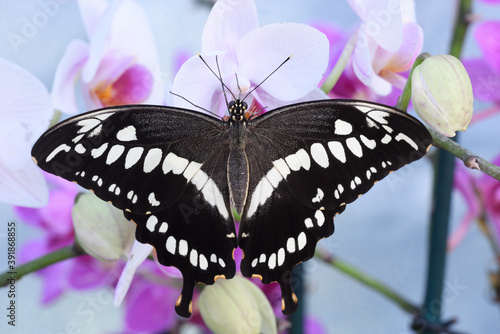 Fotografie, Obraz Tropical colorful butterfly resting on orchid flowers