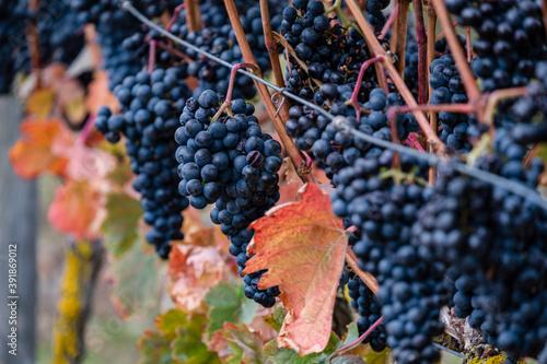 Autumnal vines near Cubillo de Ebro, Valderredible, Cantabria, Spain