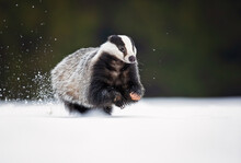 The European Badger (Meles Meles), Also Known As The Eurasian Badger, Is A Badger Species In The Family Mustelidae Native To Almost All Of Europe