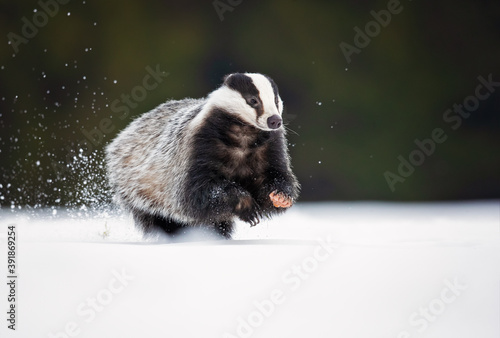 Valokuva The European badger (Meles meles), also known as the Eurasian badger, is a badge