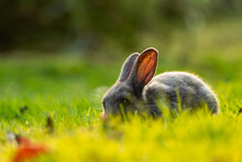 One Cute Grey Bunny Eating On Green Grass Field With Setting Sunlight Back Lit Its Fur With Beautiful Golden Glow