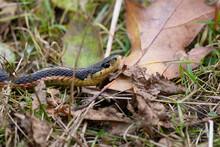 Eastern Garter Snake In Fall