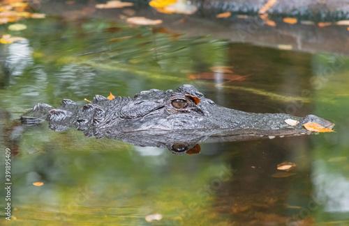 Fotografia Closeup of an Alligator in the swamp