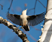 White-Breasted Nuthatch Bird Photo Stock. White-Breasted Nuthatch Bird Close-up Profile View With Spread Wings And Looking Towards The Blue Sky Background In Its Environment And Habitat.