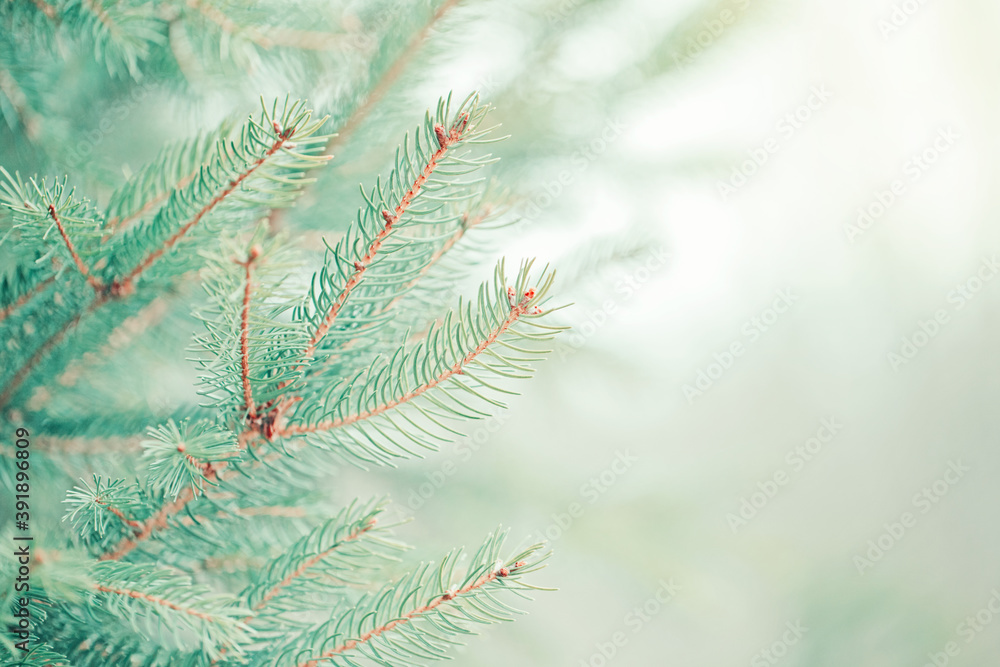 Fototapeta Christmas background. Beautiful natural fir tree background. Light teal green pine tree branches with buds of brown pine cones. Seasonal forest nature backdrop wallpaper.