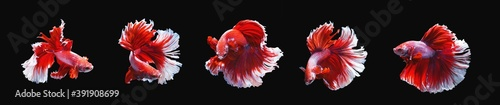 Fotografiet series of moving action of red and  white half moon siamese betta fish or betta splendens fighting fish isolated on black background