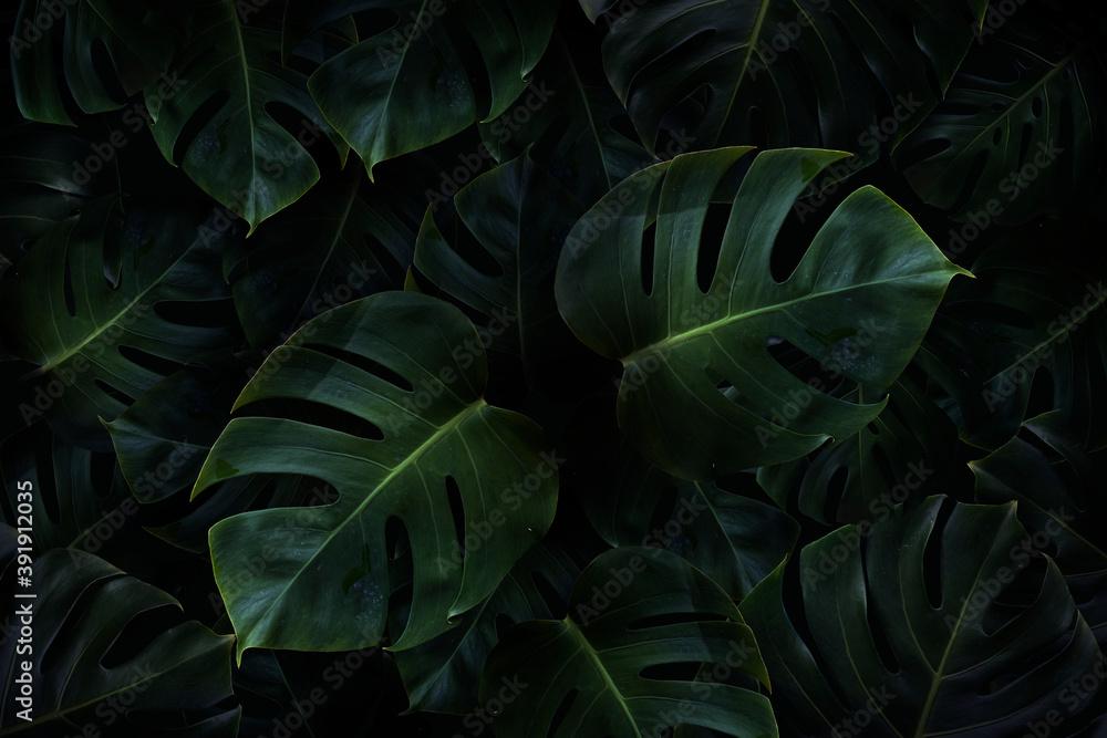 Fototapeta Tropical green monstera leaves background