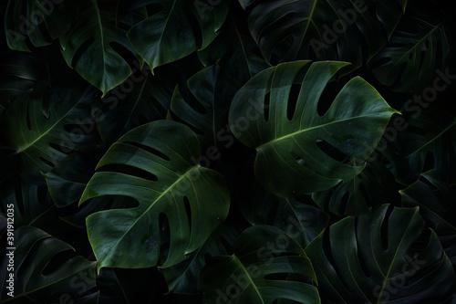 Obraz Tropical green monstera leaves background - fototapety do salonu