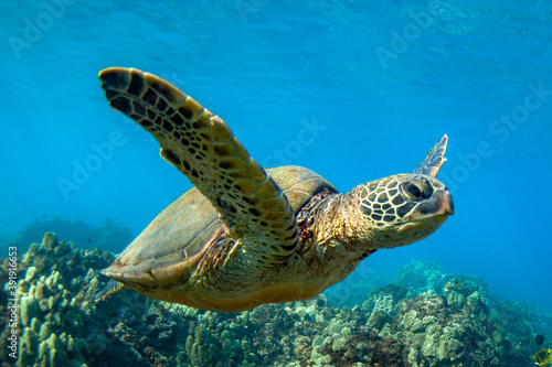 Fotografía Hawaiian Green sea Turtle cruising in the warm waters of Maui