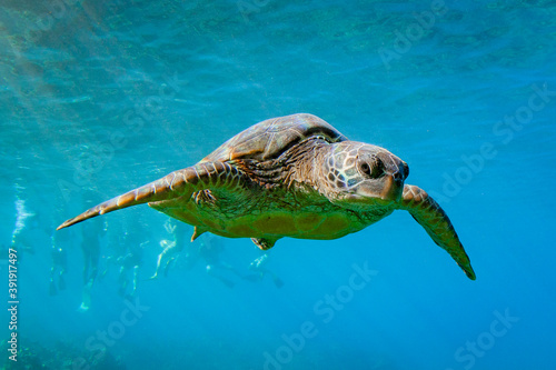 Fotomural Hawaiian Green sea Turtle cruising in the warm waters of Maui