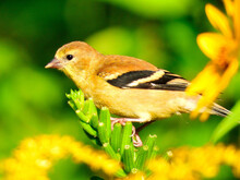 Yellow Bird On A Wildflower: American Goldfinch Bird Female Is Perched On A Goldenrod Wildflower Eating The Flower Buds In The Bright Morning Sunshine On A Summer Day In This Closeup Of A Songbird