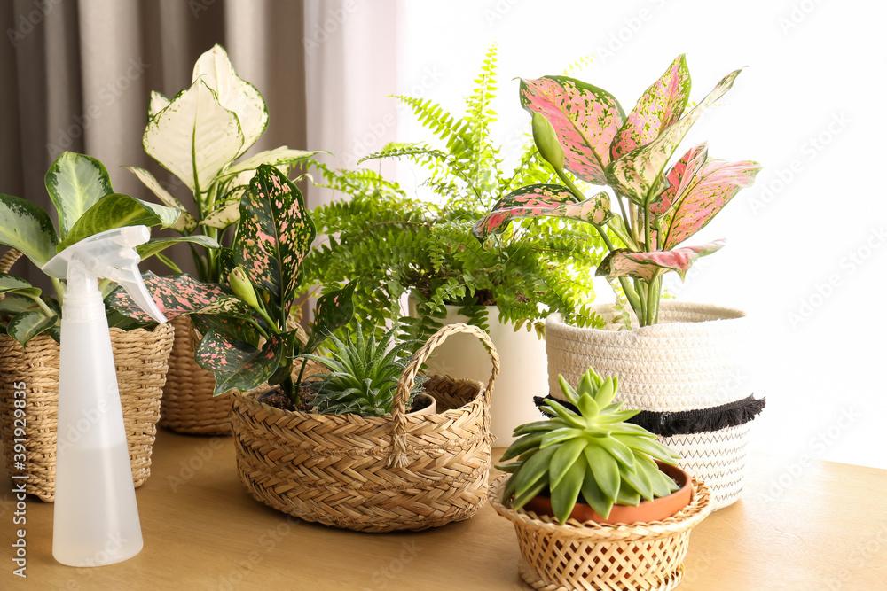 Fototapeta Beautiful houseplants and spray bottle on wooden table indoors